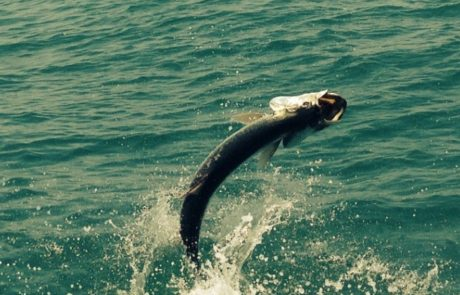 A Tarpon jumping out of the water.